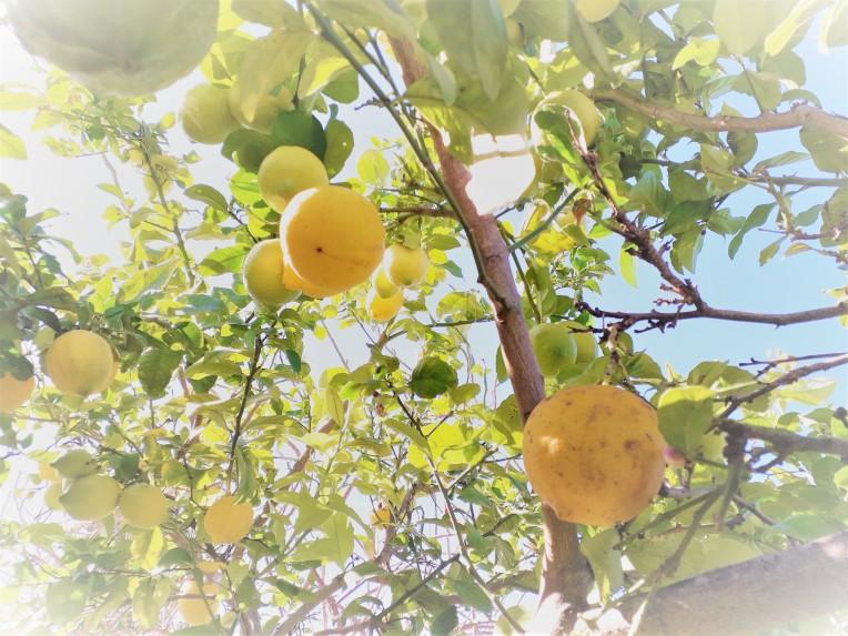 priprava limoncela X